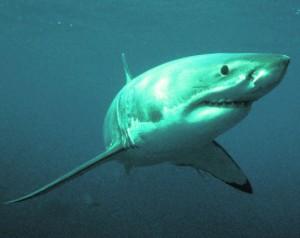 Отстрел белых акул в Австралии