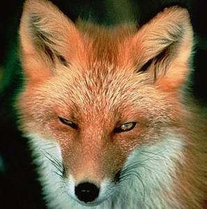 На улицах столицы Франции появились лисы