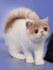 В Нижнем Новгороде состоялась выставка экзотических котов