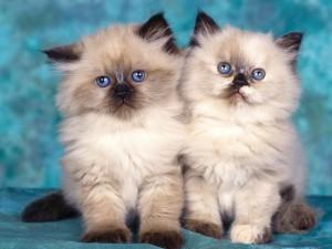 В столице Франции открывается первый кошачий бар