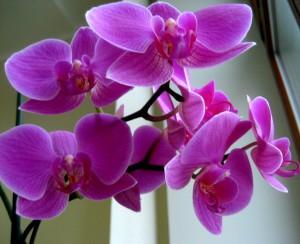 1293665575_orhideya