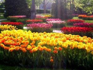 Тюльпаны. (1)